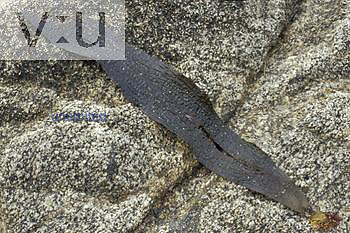 Dictyoneurum Brown Algae ,Dictyoneurum californicum, blade and holdfast on a shore rock, Bodega Head, California.