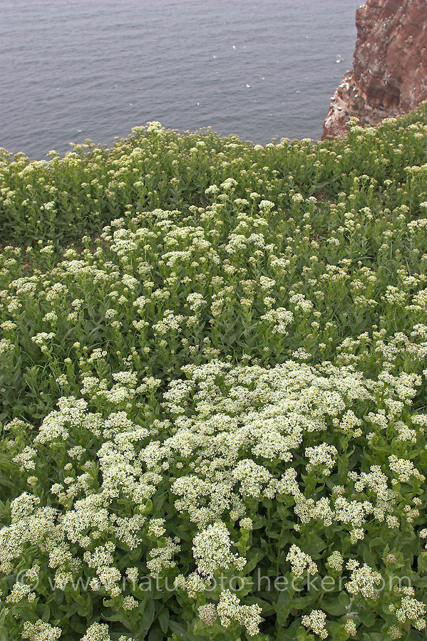Pfeilkresse, Pfeil-Kresse, Cardaria draba, Lepidium draba, Hoary Cress, Whitetop, Cardaire, Passerage drave, Bestand auf Helgoland