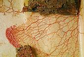 Slime Mold plasmodium on blotter paper (Myxomycete)