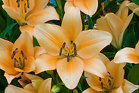 Lilium 'Salmon Pride' LA orange lillies, many flowers from summer bulbs