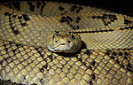 Neotropical Rattlesnake, Crotalus durissus culminatus, yellow and black patterned skin scales, close up showing face, captive, Central and South America, poisonous, venemous.Central America....
