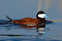 Ruddy duck swimming in a slough