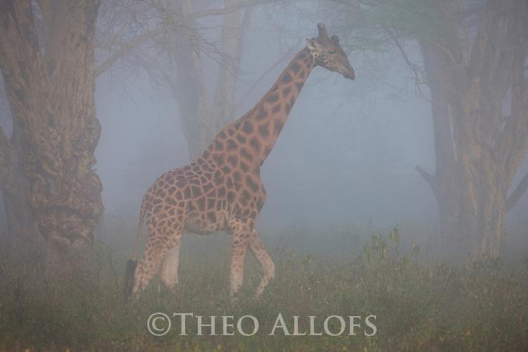 Kenya, Lake Nakuru National Park, Rothschild's giraffe in forest, morning fog
