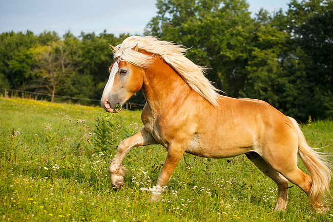 Palomino Horse Images Haflinger Palomino Horse 5738