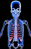 A superior anterior view of the upper body. Royalty Free