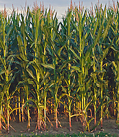 Corn, Water Mill, New York 16x18 archival canvas, edition of 50, $500