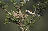 Scissor-tailed Flycatcher, Tyrannus forficatus, female landing with nesting material on nest, Rio Grande Valley, Texas, USA