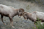 Jasper Wildlife  Rocky Mountain bighorn sheep