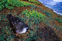 Wedge-tailed shearwater (ua`u kani) at Kilauea Point National Wildlife Refuge, Kauai north shore.
