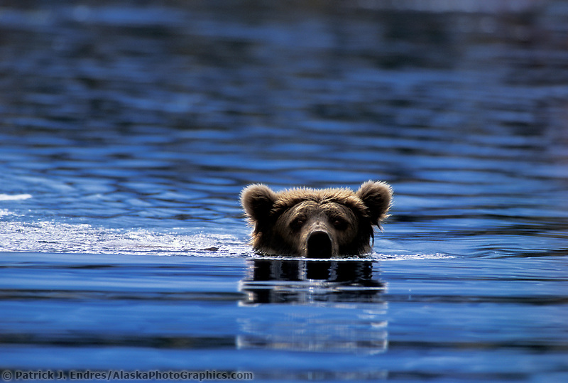 Brown bear in Brooks river, Katmai National Park, Alaska