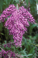 Buddleia 'Dartmoor' butterfly bush aka Buddleja Dartmoor in purple flowers