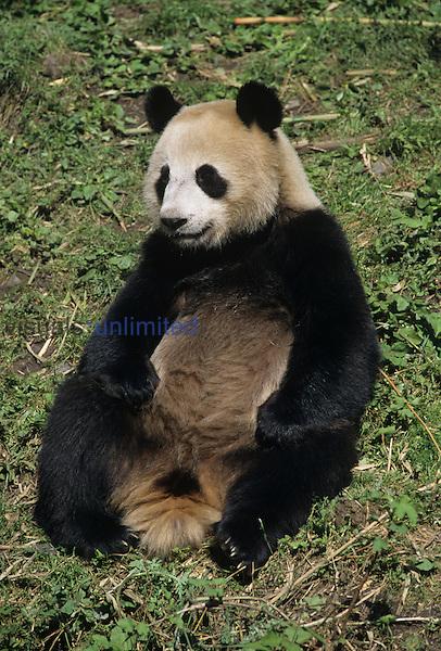 Giant Panda Bear ,Ailuropoda mclanolcucq, Sichuan Province, Wolong Panda Research Facility, Wolong China