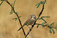 578680020 a wild botteri's sparrow aimophila botteri perches on a mesquite branch in the madera grasslands green valley arizona united states