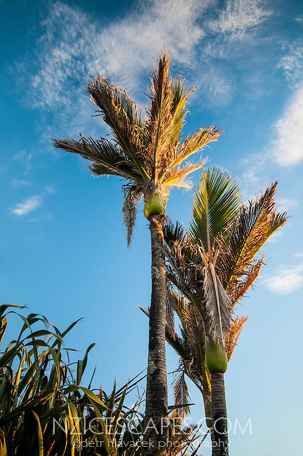 Nikau palm trees in Punakaiki, Paparoa National Park, West Coast, New Zealand