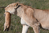 Closeup of the head and shoulders in profile of a lioness carrying her baby cub in her mouth in the Masai Mara Reserve, Kenya, Africa (photo by Wildlife Photographer Matt Considine)