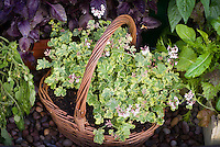 "Pelargonium 'Fragrans Variegatum"" scented geranium in flower, with variegated leaves, in wicker basket planter container pot, next to pots of purple basil herb Ocimum, mesclun greens, cherry tomatoes"
