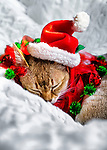 Sleeping Singapura Kitten wearing Santa Hat and Christmas Collar