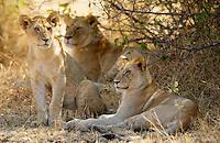 Lion Cubs, Grumeti, Tanzania, East Africa