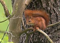 Eichhörnchen, Sciurus vulgaris, Red squirrel, Écureuil d´Europe