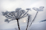 Frosted seedhead, carrot family, Apiaceae, Northumberland, UK