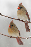 Female Cardinal pair in a recent February snowstorm.