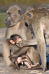 Chacma baboons, Papio cynocephalus ursinus, with baby, Kruger National Park, South Africa