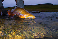 Atlantic Salmon Catch and Release Fly Fishing in Iceland. 18 pound male, caught on Collie dog micro hitch in Rettarhylur pool Sela river, Vopnafjordur