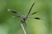378950003 a wild female four-spotted pennant brachymesia gravida perched on stick in obelisk position texas point national wildlife refuge jefferson county texas