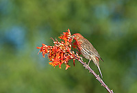 528800253 a wild male house finch podocarpus mexicanus feeds on a flowering ocotillo foqueria splendens plant in southern arizona