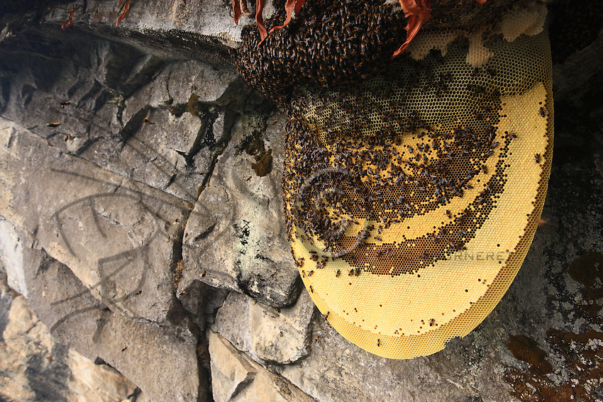 In the world of social insects, few spectacles are as impressive as that of a colony of giant bees, where 50,000 individuals can be seen at once, tightly amassed at the top of an immense orange disc.