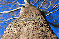 Looking up the trunk of a tall sycamore tree.