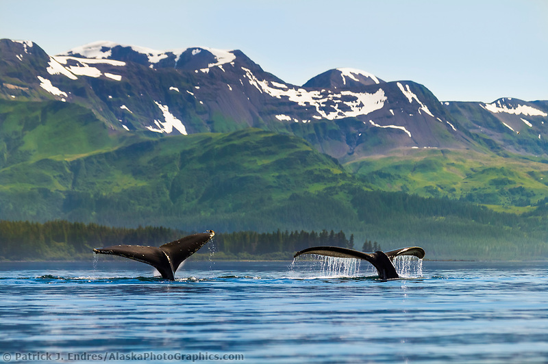 Humpback whales, Montague Island, Montague straits, Prince William Sound, Alaska