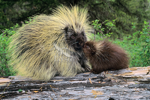 Porcupine family--mother with young.