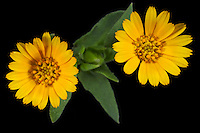 Marigold flowers (Calendula arvensis)
