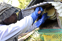 Beekeeper Masahiro Tominaga removes honey from one of his hives, Inadani, Nagano Pref, Japan, September 24, 2011. Inadani is home to Japanese honey-bee farms. The bees feed off red-soba flowers and the exceptionally high-quality honey they produce is sold at a premium.