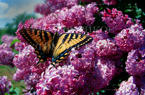 Western Tiger Swallowtail (Papilio rutulus), located in the Upper Peninsula of Michigan on a Syringa vulgaris (Common Lilac) tree.