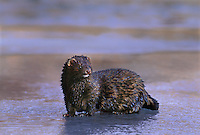 660066005 a captive mink mustela vison stands on an ice covered pond in montana