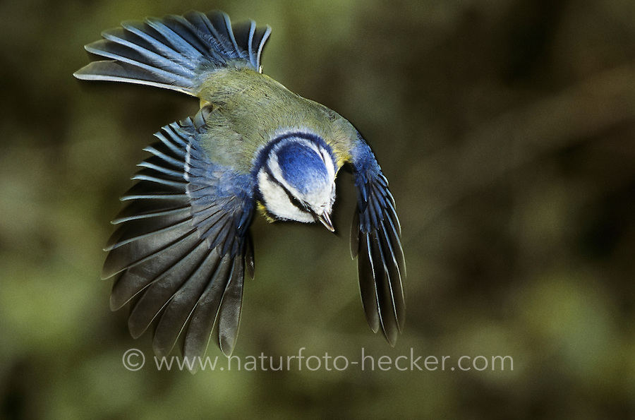 Blaumeise, im Flug, Flugbild, fliegend, Blau-Meise, Meise, Parus caeruleus, blue tit