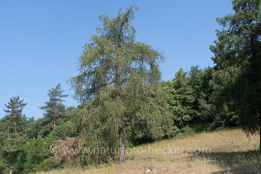 Europäische Lärche, Larix decidua, Larix europaea, European Larch