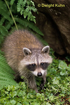 MA25-283z   Raccoon - young raccoon exploring - Procyon lotor