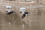 A pair of bufflehead in flight