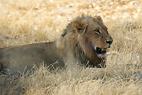 Resting male lion (pantera leo), but not relaxed. Perhaps he is in intruding in someone elses territory.<br /> The Xakanaxa side of Moremi in the Okavango Delta, Botswana.<br /> September 2007.