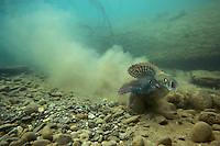 Grayling (Thymallus thymallus) <br /> Male (left) and female spawning, Lake of Thoune, Thoune, Switzerland<br /> &Auml;sche (Thymallus thymallus)<br /> M&auml;nnchen (links) und Weibchen laichend, Thunersee, Thun, Schweiz<br /> Ombre (Thymallus thymallus)<br /> M&acirc;le (&agrave; gauche) et femelle sur la fray&egrave;re, Lac de Thoune, Thoune, Suisse<br /> 19-03-2009