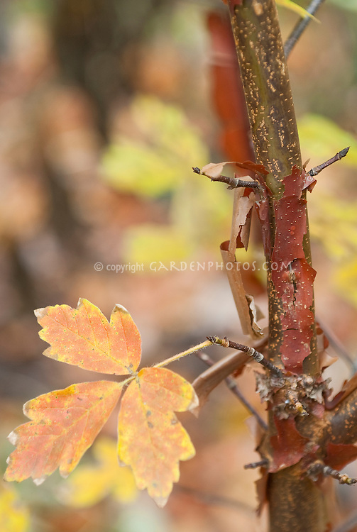 Acer griseum Paper bark maple leaves and tree bark in fall color