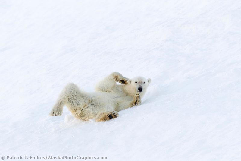Polar bear rolls in the snow in northern Svalbard.