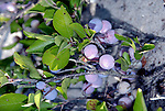 Wild catawba grapes growing in along the dunes in southern New Jersey, alongside Delaware Bay near Cape May.