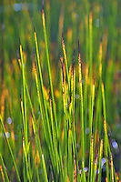 Beach grass (with wet feet) begin to turn in the cooler days of fall.