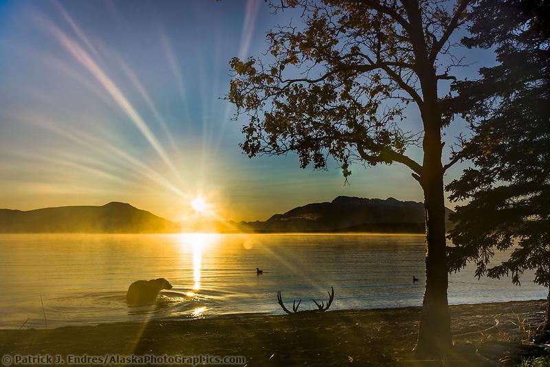 Brown bear fishes in Naknek lake at sunrise, Katmai National Park, Alaska.