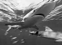 TH2751-Dbw. Silky Sharks (Carcharhinus falciformis), grow to 10 feet long, usually inhabit open ocean, sometimes in big schools. Cuba, Caribbean Sea.<br /> Photo Copyright &copy; Brandon Cole. All rights reserved worldwide.  www.brandoncole.com