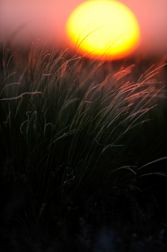 Mission: Saiga .Feather grass in the evening sunset in the steppe of Cherniye Zemly (Black Earth) Nature Reserve, Kalmykia, Russia, April 2009  (Stipa sp.).